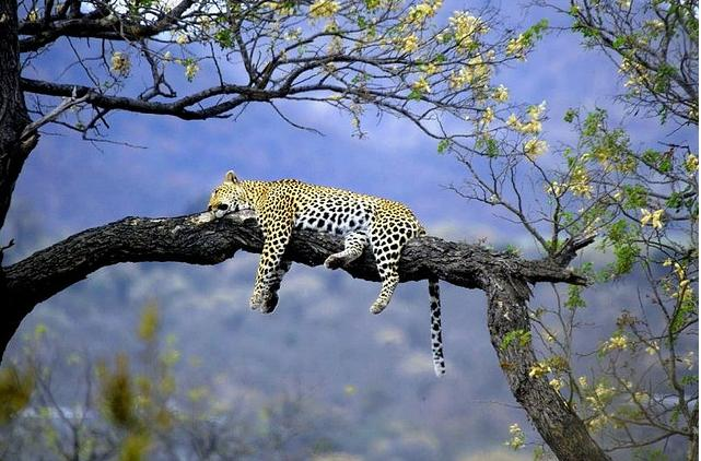 Leopards usually hunt at night.  Able to see in the dark