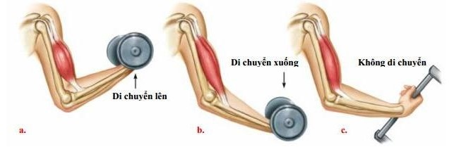 Figure 9.3a Muscle contraction and relaxation activity