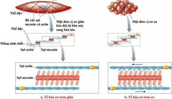 Figure 9.3b Muscle contraction and relaxation process