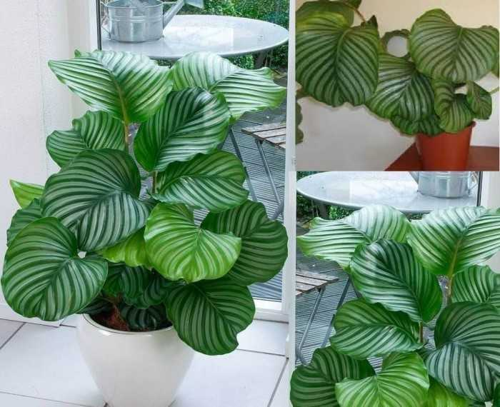 Shade-loving plant with dark green leaves