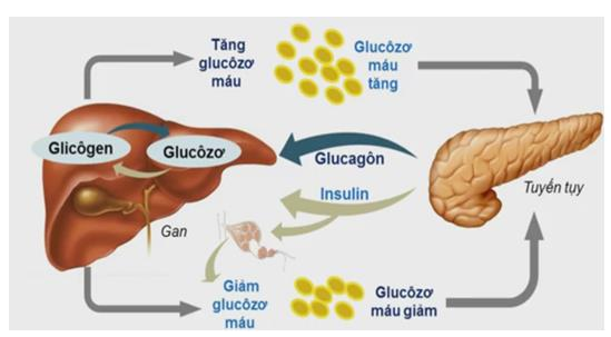 Regulates sugars in the liver