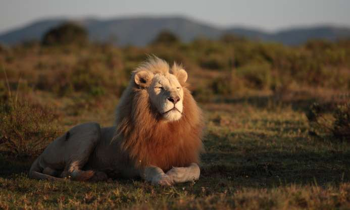 Lions living in Africa have a dark coat color