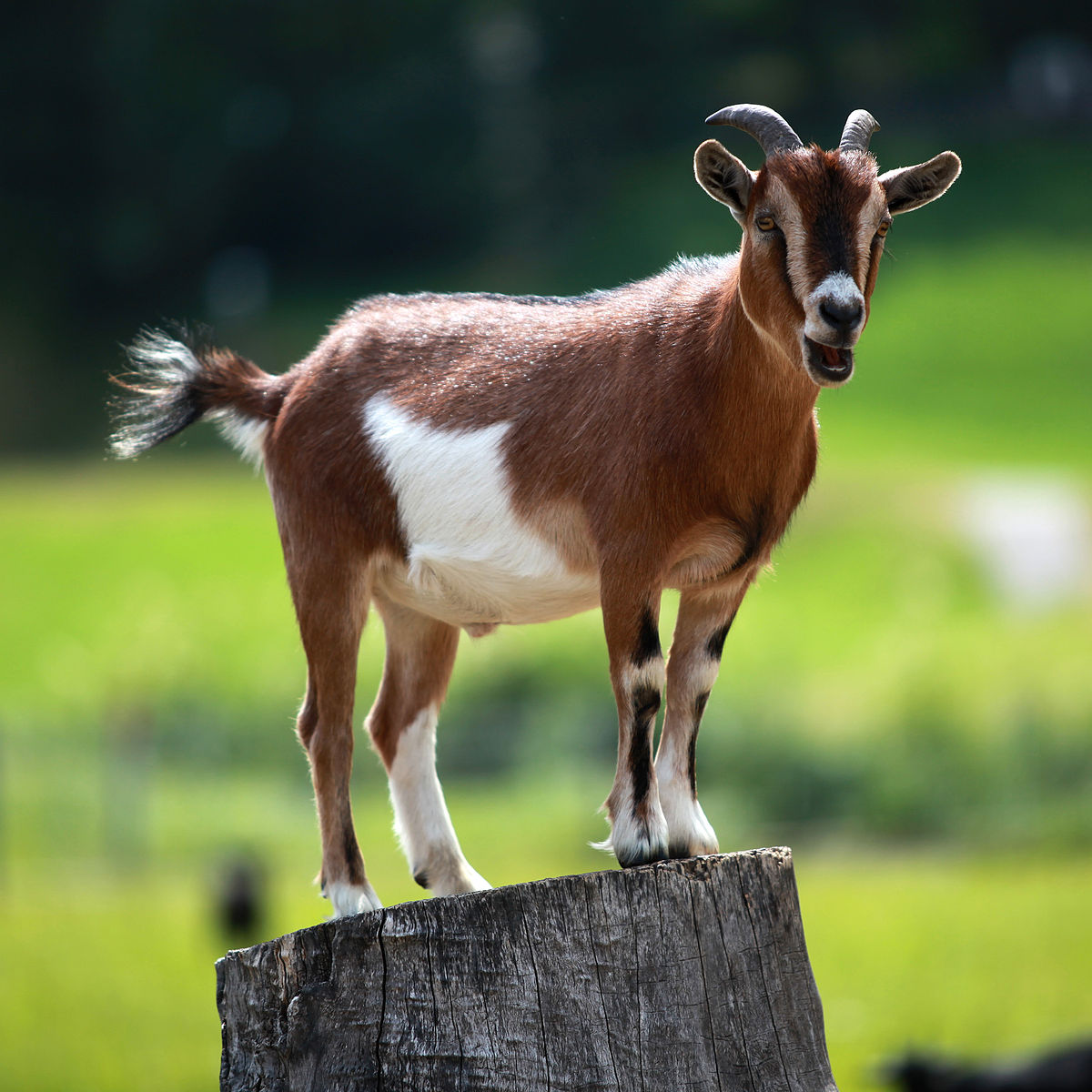Light-loving animals, Goats go foraging during the day