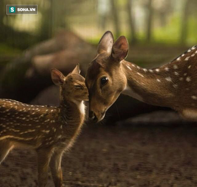 Light-loving animals Deer go foraging during the day
