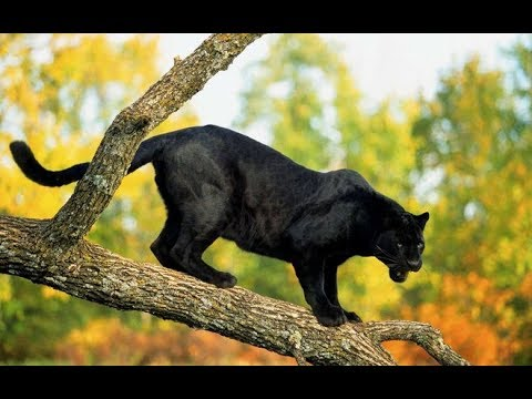 Dark animals: Black panther hunts at night, eyes have the ability to see in the dark